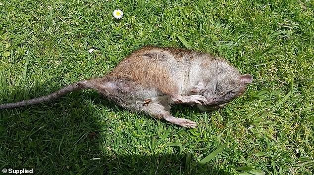 Rodrepel Non hazardous non toxic rodent and animals